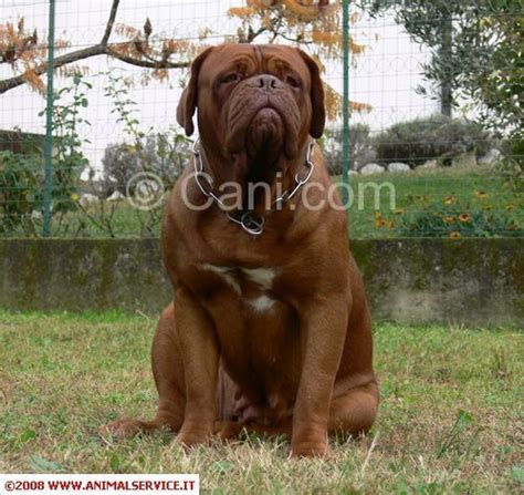 de bordeaux alimentazione dogue de bordeaux 195052