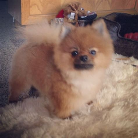 pomeranian haircut styles haircut for wolfgang the pomeranian wolfgang the