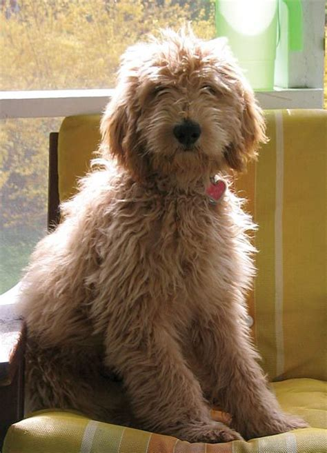 goldendoodle puppy progression golden doidle hair cuts hairstyle gallery