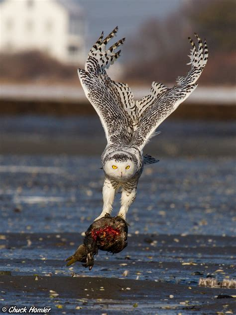 snowy owl irruption warning some images are graphic