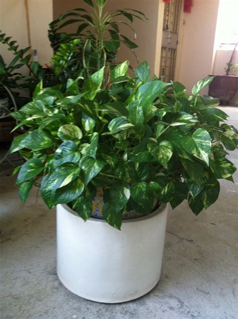 common house plant seeds my house plant series epipremnum aureum golden pothos
