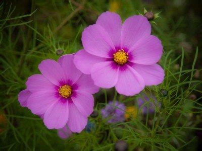 cosmos plants: how to grow cosmos flowers