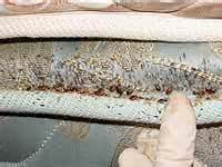 Bed Bugs Clothes In Dryer How To Get Rid Of Bed Bugs Yourself Inspection Apps