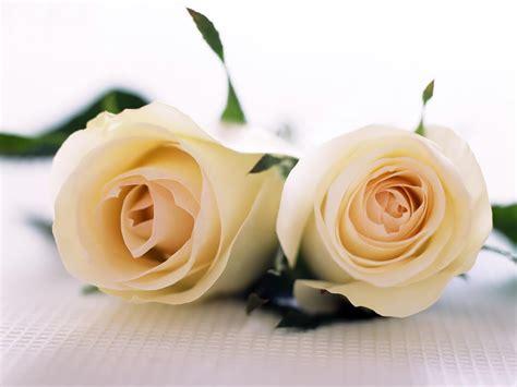 flowers for flower lovers.: White rose desktop hd wallpapers.