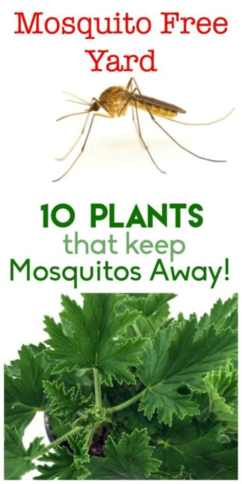 flowers that keep mosquitoes away 10 plants that keep the mosquitos away ebay