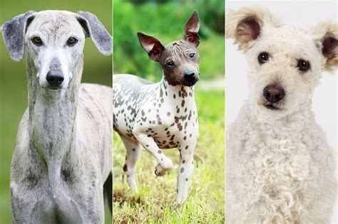 show breeds the westminster kennel club show breeds for 2017