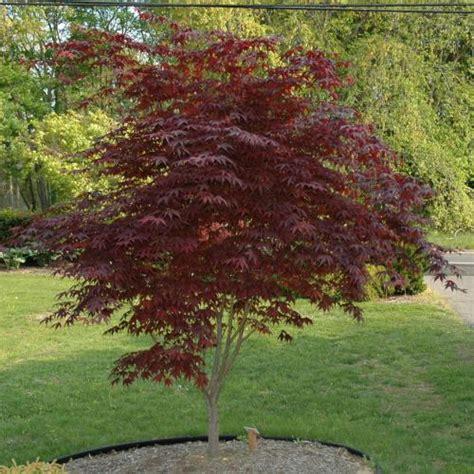 rich s foxwillow pines nursery inc acer palmatum bloodgood japanese maple