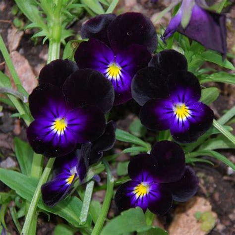 pansy garden ideas black pansies small garden ideas