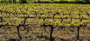 springtime in the vineyards of southern cooking