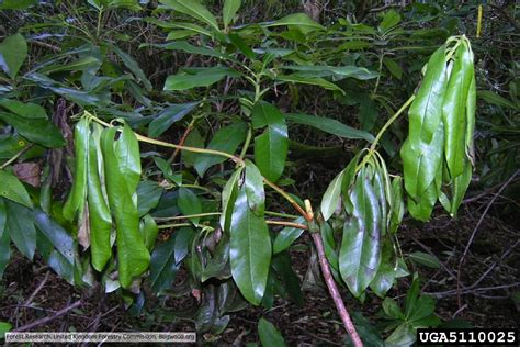 photo gallery forest phytophthoras of the world