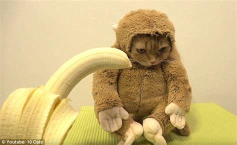 banana kitten named orfey cats monkey cat featuring a feline in an ape costume is