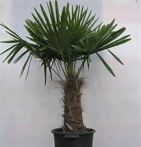 Potted Palms For Patio Plants Amp Flowers 187 Trachycarpus Wagnerianus