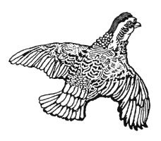 file:grouse in flight.png