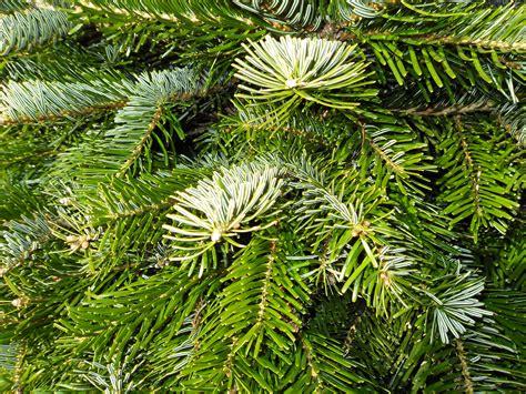 hicks christmas tree s hick s christmas trees olympia wa