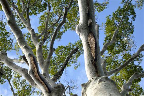 Madu Odeng Dan Lebah Hutan nasib pengunduh ditengah turunnya jumlah madu hutan alam
