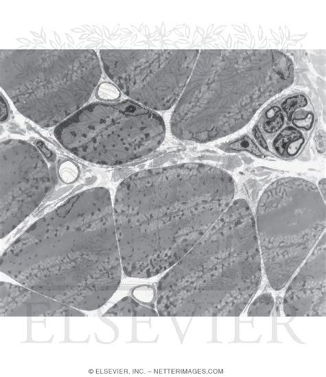 transverse section of skeletal muscle electron micrograph of skeletal muscle in transverse section