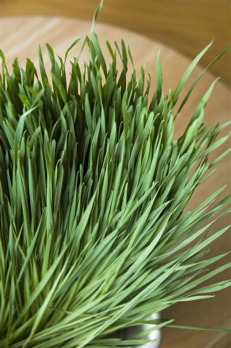 easy grow wheatgrass wheatgrass for a healthy living the gaia health blog