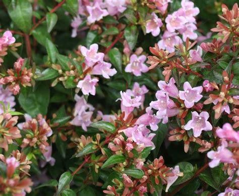 piante x giardino abelia abelia piante da giardino abelia per giardino