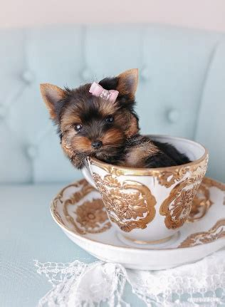 teacup puppy cost the teacup dogs the talon
