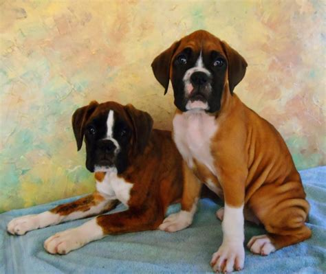 european boxer puppies boxx boxers produces quality european boxer puppies for show work or play our