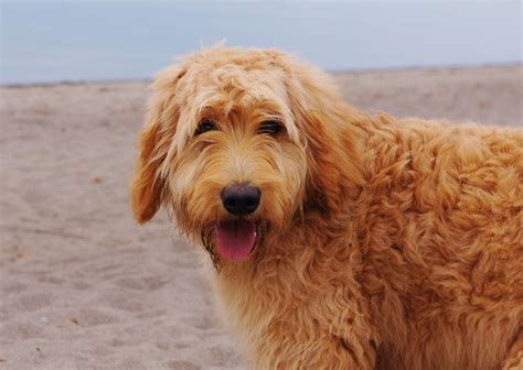 apricot golden retriever apricot golden retriever assistedlivingcares