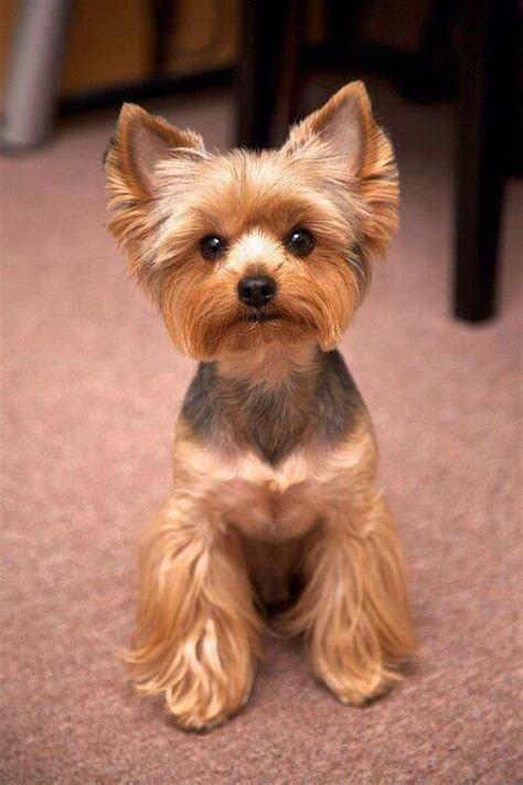 female yorkie haircuts the 25 best ideas about yorkie haircuts on pinterest