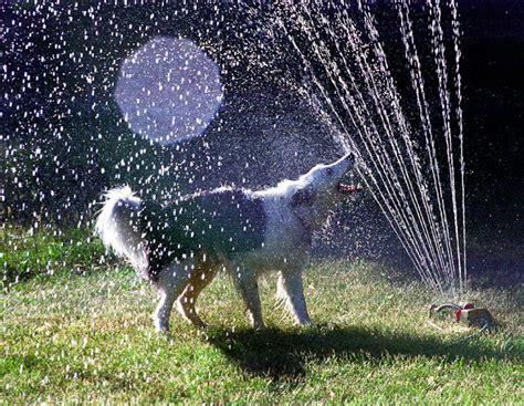 Dog Sprinkler Meme - 32 dogs play in sprinklers 32 pics amazing creatures