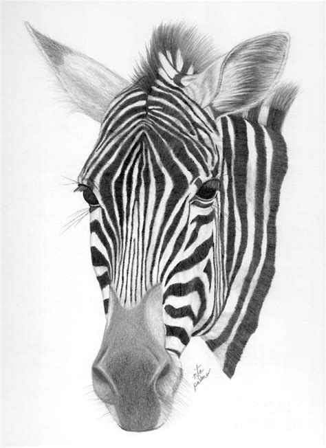 zebra drawing by rita palmer