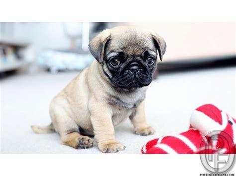 pug puppies price in mumbai die besten 25 pug puppies price ideen auf baby schwarzer mops m 246 pse und