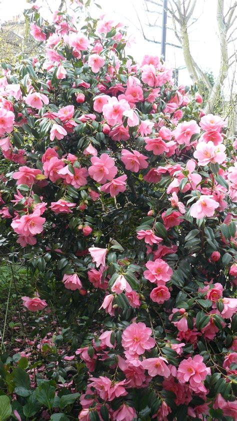 flowering evergreen shrubs for shade camellia shade camellia japonica evergreen blooming
