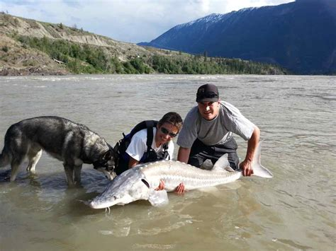 Finder Bc Sturgeon Fishing Whistler And Lillooet Columbia Canada