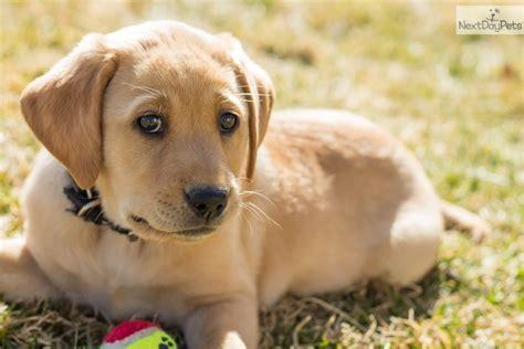 lab puppies for sale in utah labrador retriever puppy for sale near logan utah 29339f1f cf51
