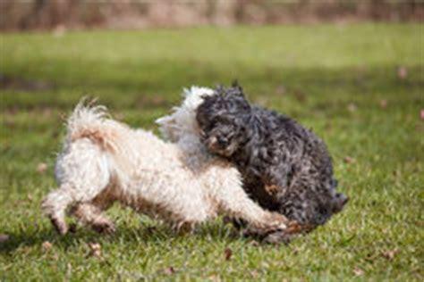 perro havanese perros blancos y negros fotos stock 111 perros blancos y negros im 225 genes stock