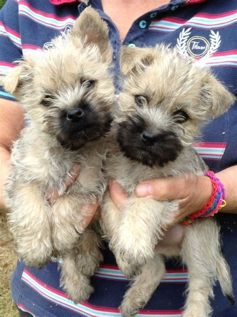 cairn terrier puppies for sale cairn terrier puppies for sale hawick roxburghshire pets4homes