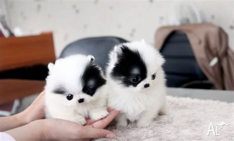 white micro teacup pomeranian puppy precious micro white teacup pomeranian puppies for sale in swan hill