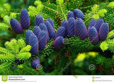 Amazing Christmas Trees Prices #3: Korean-fir-view-cones-33822397.jpg