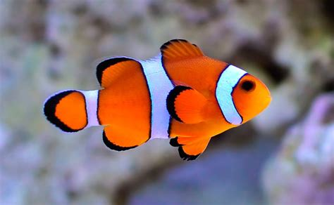 la chachipedia el pez payaso apexwallpaperscom pez payaso la web de ainhoa