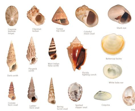 names of different types of individual by african bailey matthews shell museum the sanibel captiva