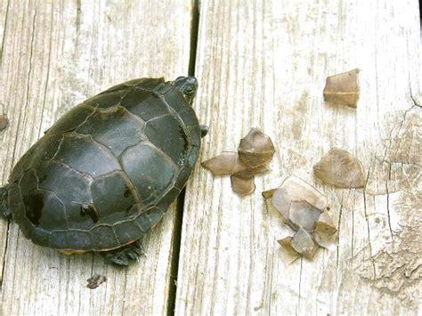 Ear Slider Shedding by The Guide To Turtle Shell Peeling Turtleholic