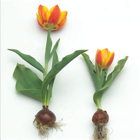 growing tulips planting tulip bulbs high country gardens