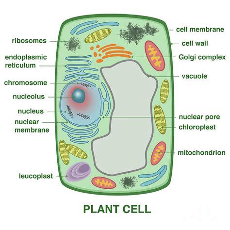 mesophyll cell diagram mesophyll cell diagram choice image diagram design ideas