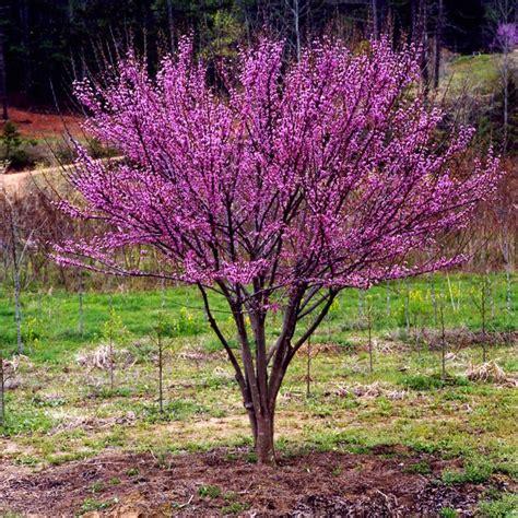 ace  hearts redbud  compact shrub  small tree