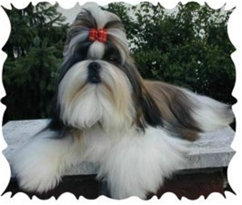 how to make yorkie hair bows how to make hair bows for dogs including free hair bow for