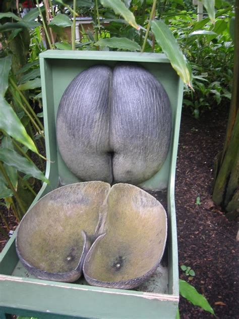 Coco De Mer Fruit | coco de mer is this the world s strangest palm tree