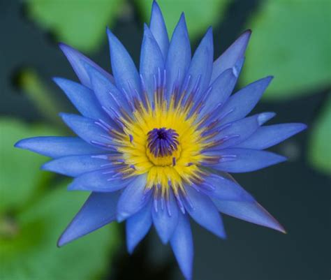 meaning of blue lotus flower lotus flower meaning and significance all the world