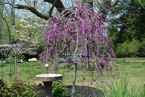 small weeping trees for small gardens images