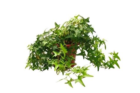 edera in vaso piccolo edera ricanti pianta ricante piccolo edera