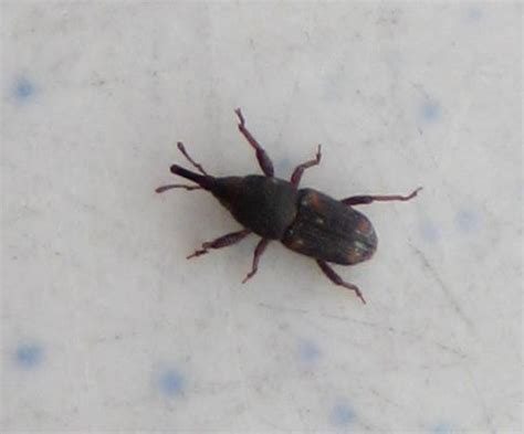 Tiny Beetle Found In Cake Frosting Sitophilus Bugguide Net Tiny House Beetles