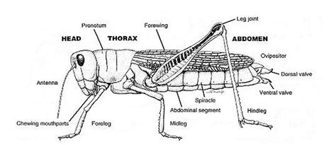 cricket anatomy diagram anatomy of a cricket cri kee the cricket