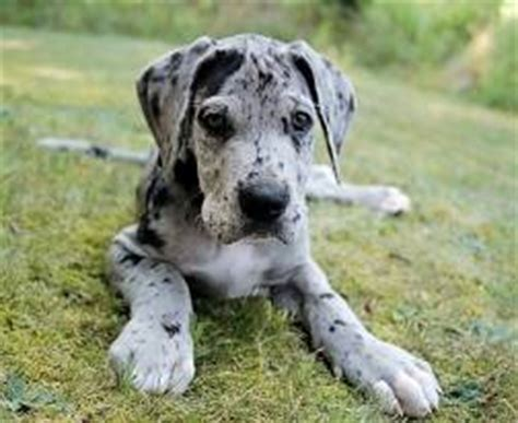great dane puppy cost how much does a great dane puppy cost about doggies